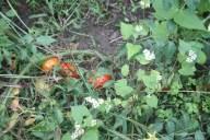 Tomaten - ungepflanzt, haben sich aber ihren Weg gebahnt.