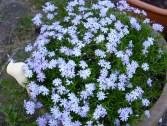Schlüpferfarbene Blumen.