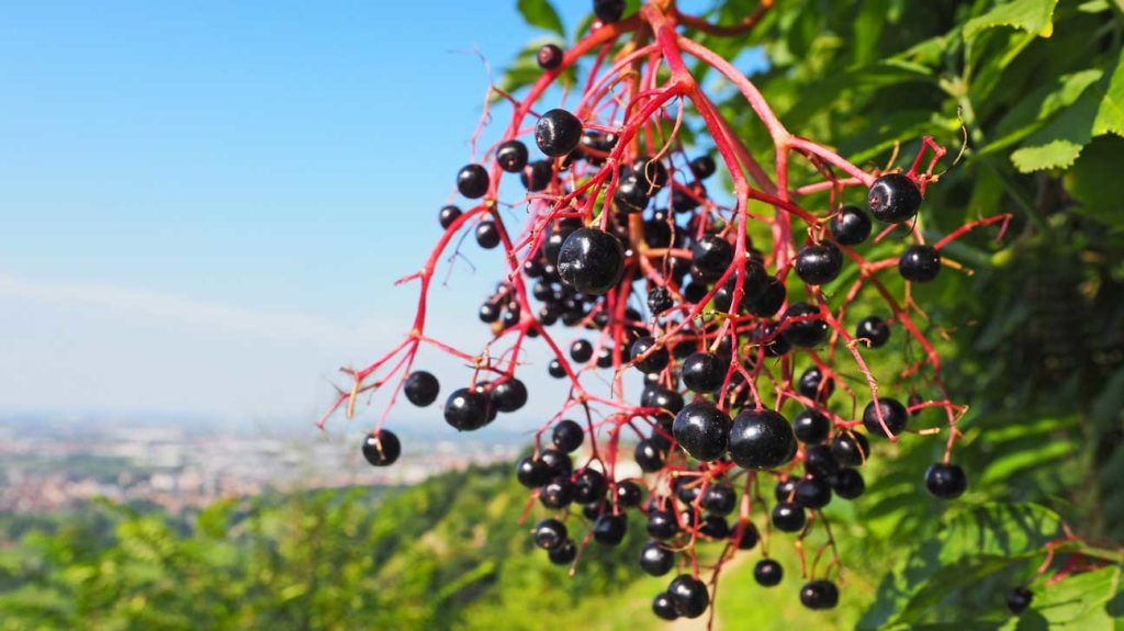 Part Ii More Fruit Of Poisonous Tree >> 10 Tasty Wild Berries To Try And 8 Poisonous Ones To Avoid