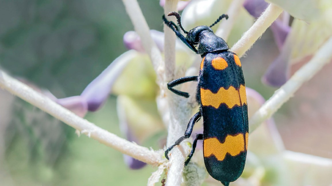 Blister Beetle Bite: About, Pictures, Treatment, and Prevention