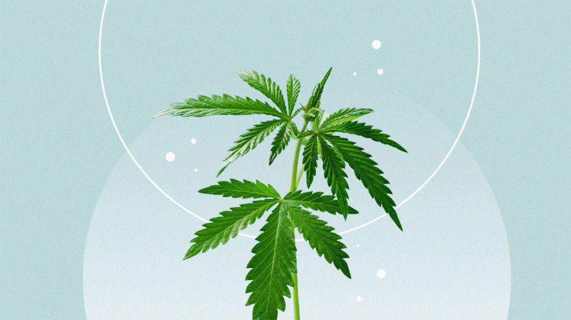 two cannabis leaves against light blue background