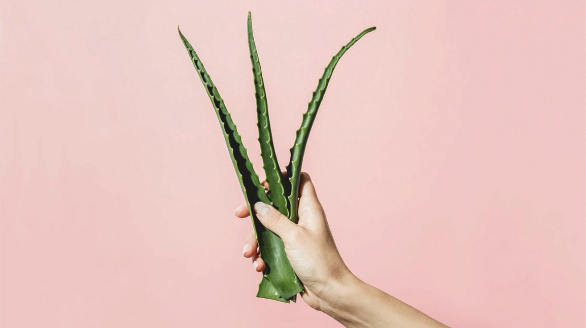 A person's hand holding aloe vera leaves.