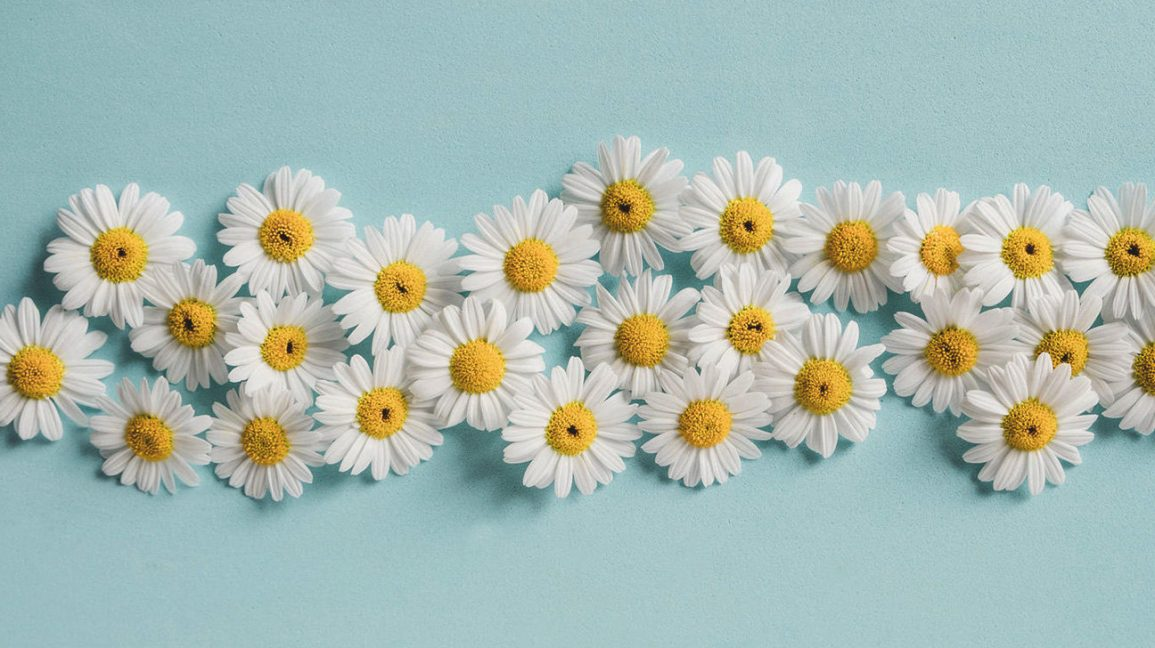 Chamomile flowers on a light blue background