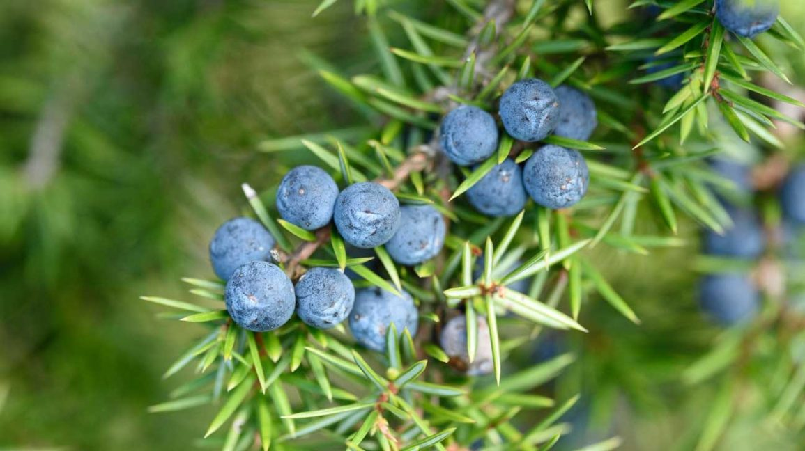 juniper berries on shrub