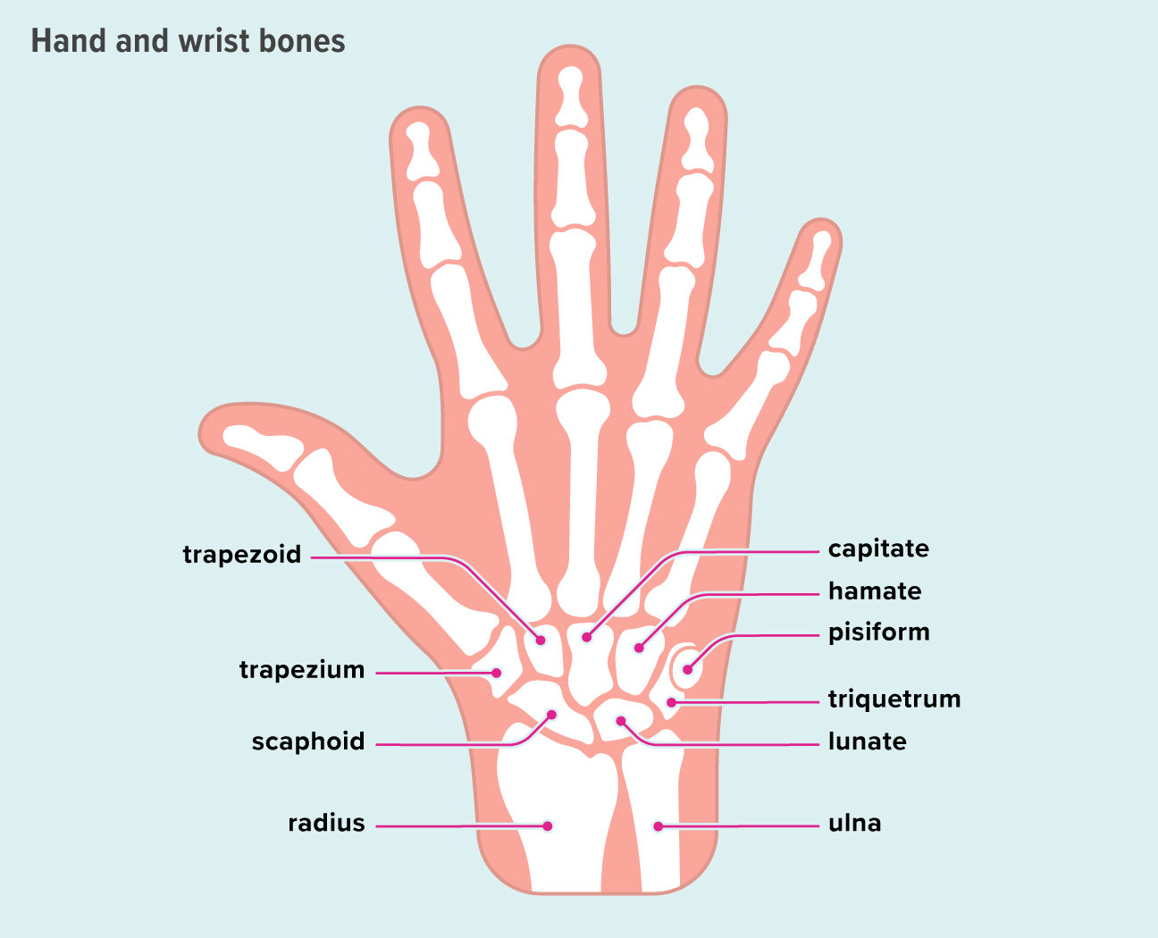 diagrama rotulando os oito ossos do carpo e dois ossos do braço do pulso