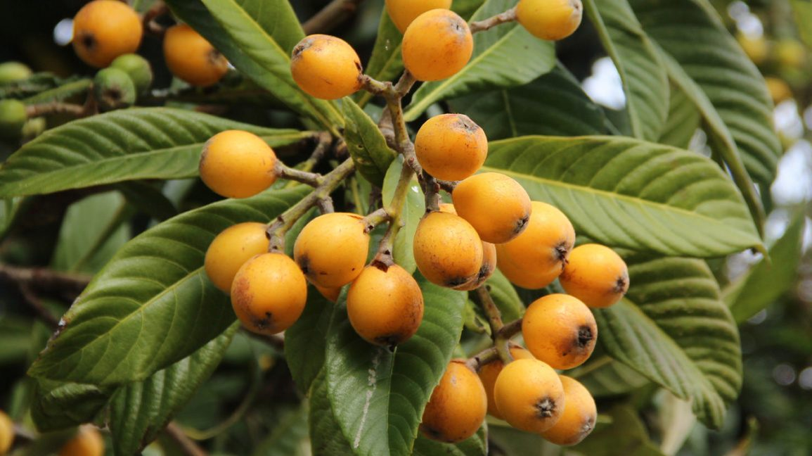 Loquats on a tree