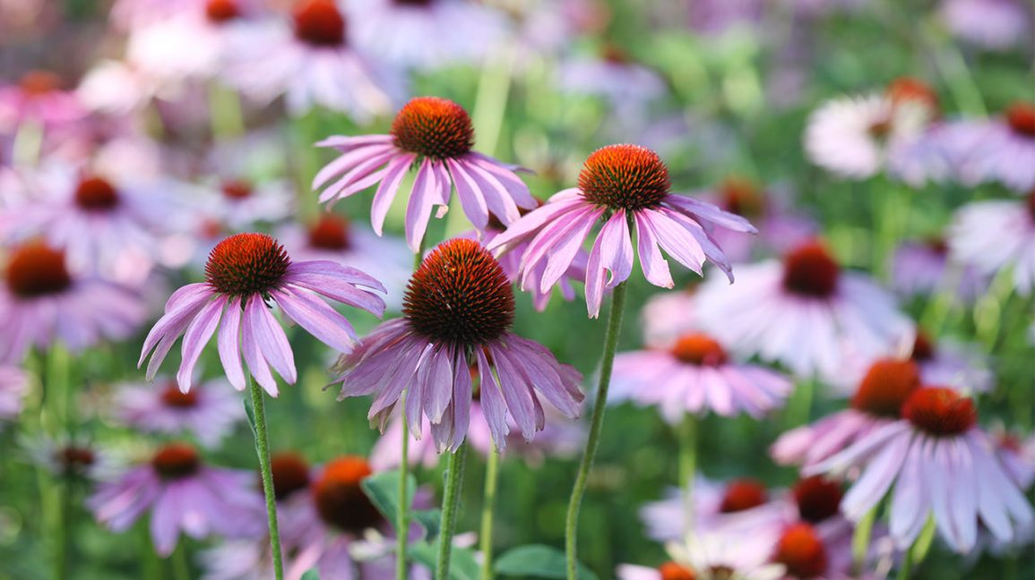 Echinacea for Colds: Does It Work?