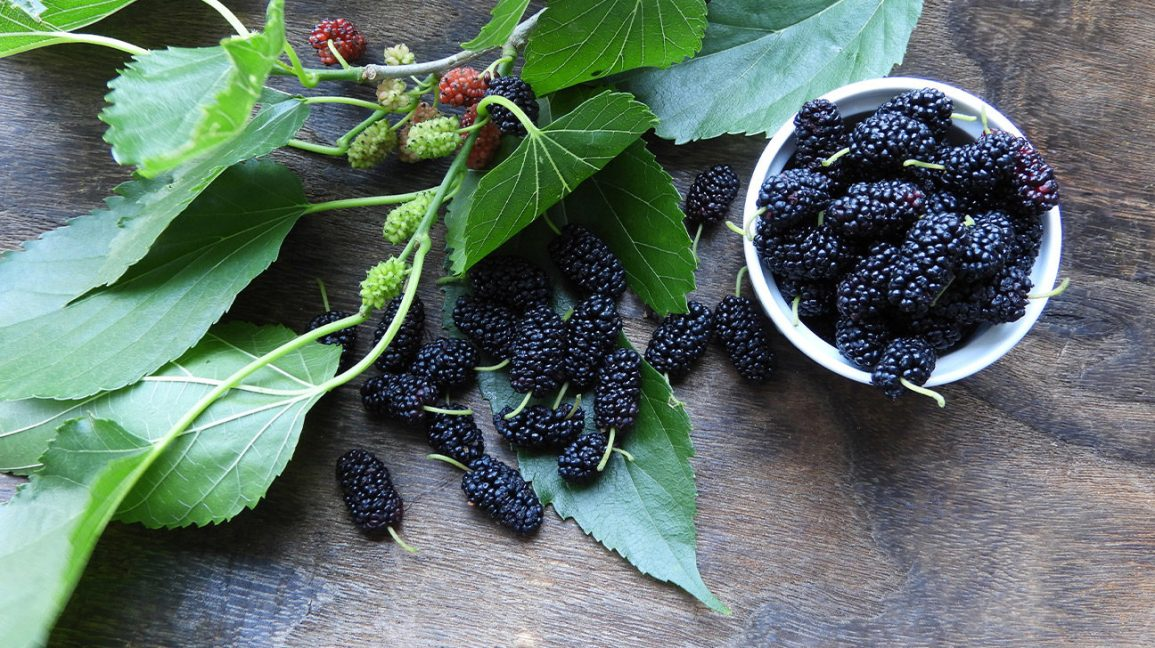 Mulberry Leaf Uses Benefits And Precautions