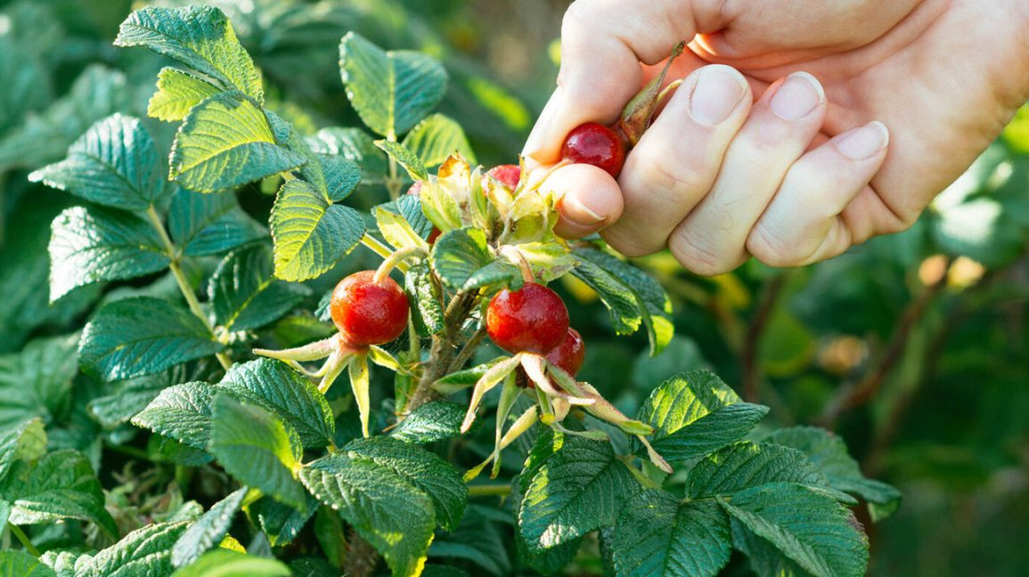 A person picking rose hips from a bush.