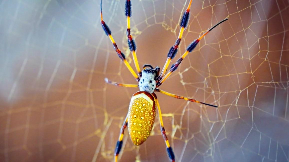 Banana Spider Bites Symptoms And Treatment