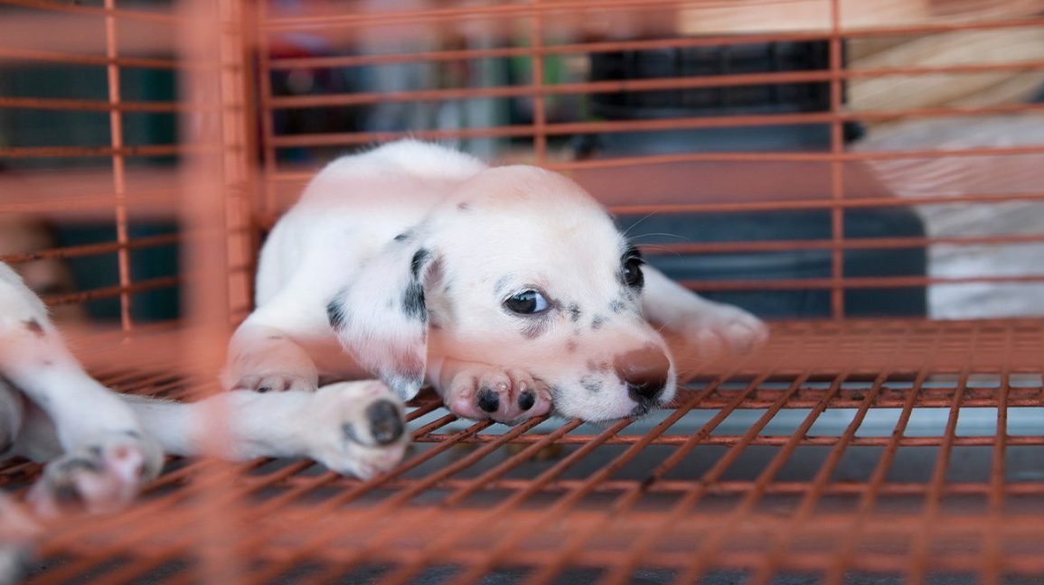 How Sick Is That Puppy In The Window Bacteria Linked To Pet Stores