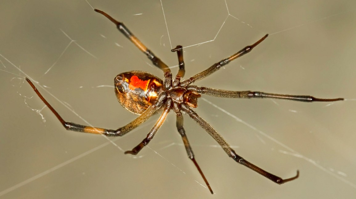 Brown Widow Bite: Symptoms, Treatment, Prevention, Pictures