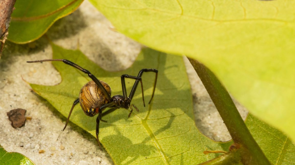 Brown Widow Bite Symptoms Treatment Prevention Pictures
