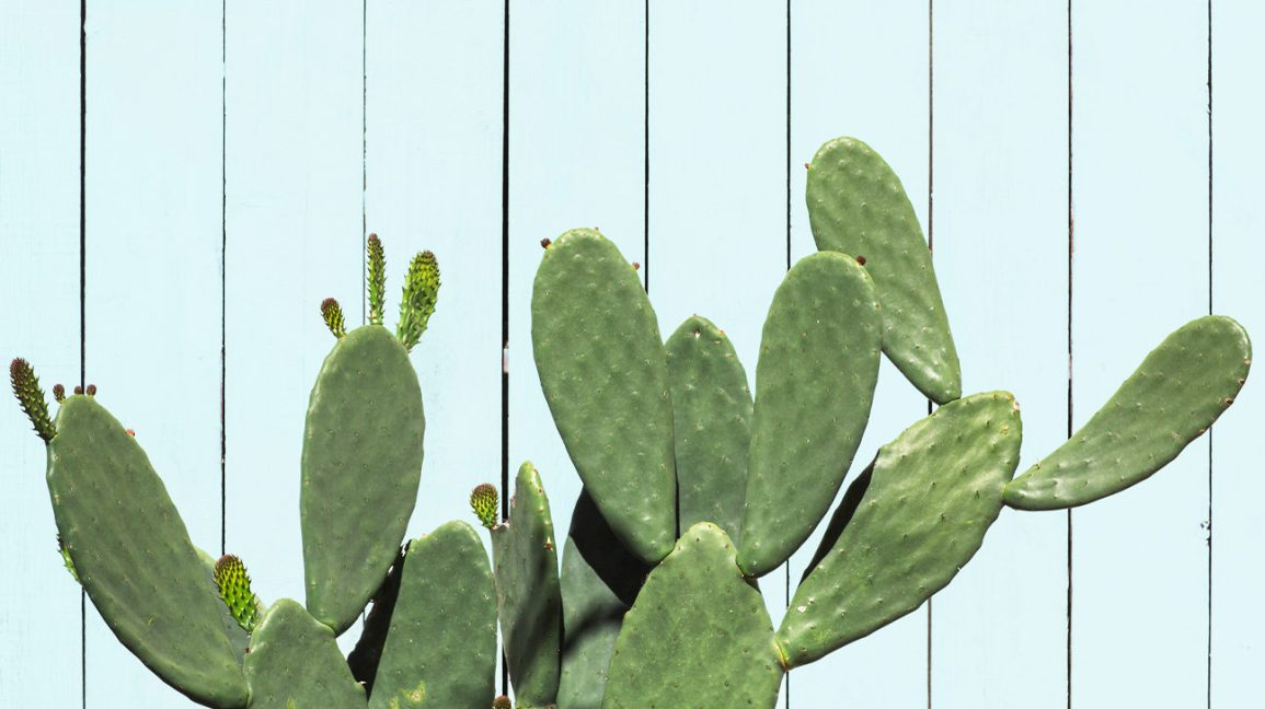 Cactus from which cactus water can be derived
