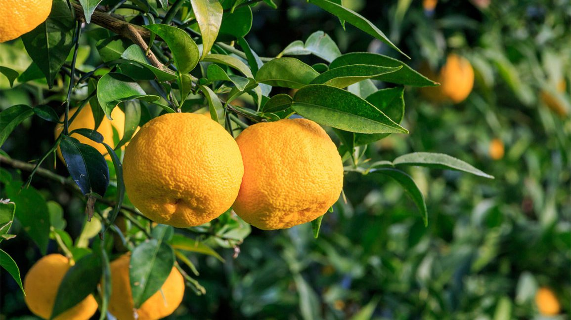 yuzu citrus fruits growing on tree
