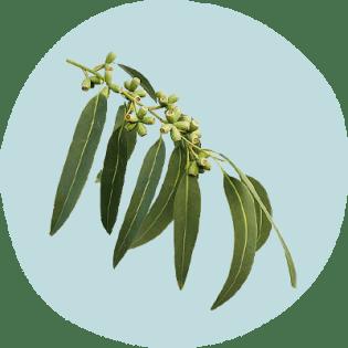 Blue gum eucalyptus leaves
