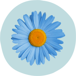 German blue chamomile flower