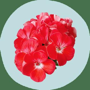 Rose geranium flowers