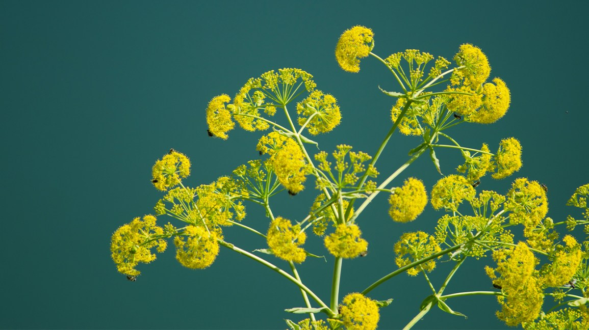 What Is Asafoetida? Benefits, Side Effects, and Uses