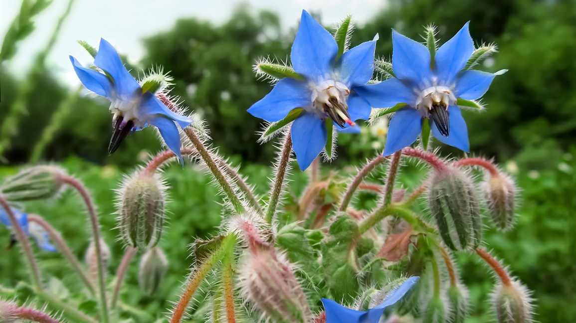 The Definitive Guide for Borage Seed Growing – How To Plant Borage Seeds
