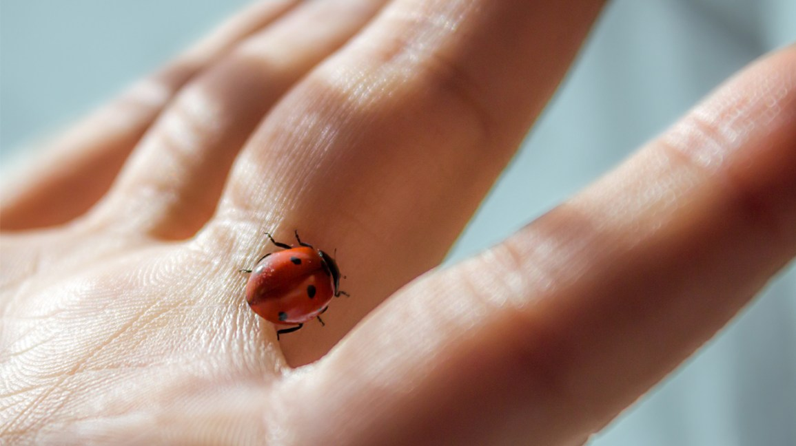 do ladybugs bite, ladybug on a hand