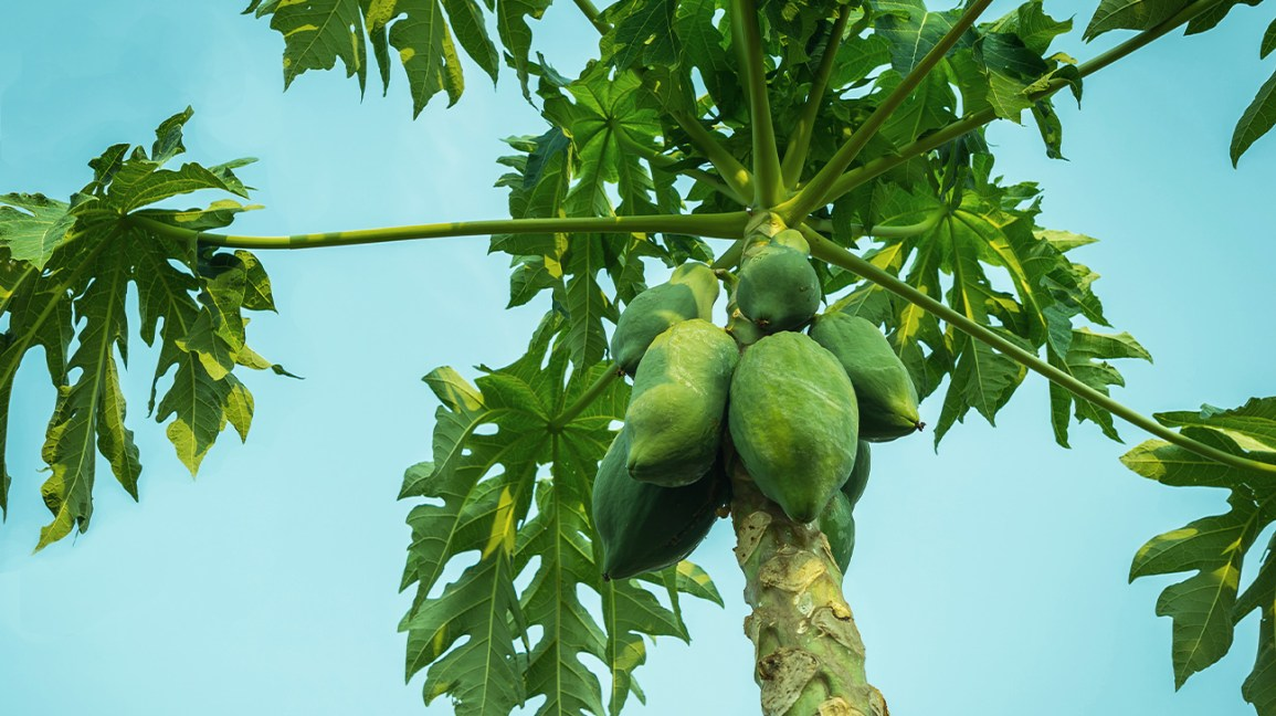 7 Emerging Benefits And Uses Of Papaya Leaf