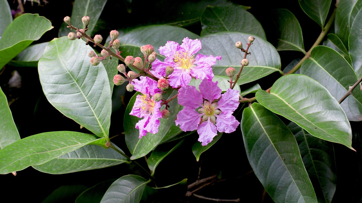 Banaba Leaves: Benefits, Uses, Side Effects, and Dosage