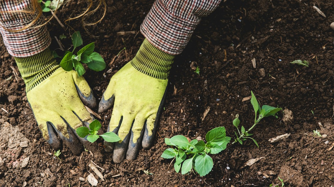 gloved hands in soil with plants