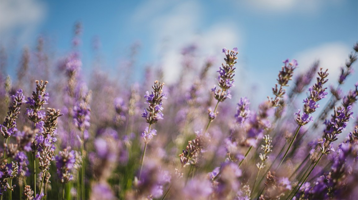 4 Benefits And Uses Of Lavender Tea And Extracts