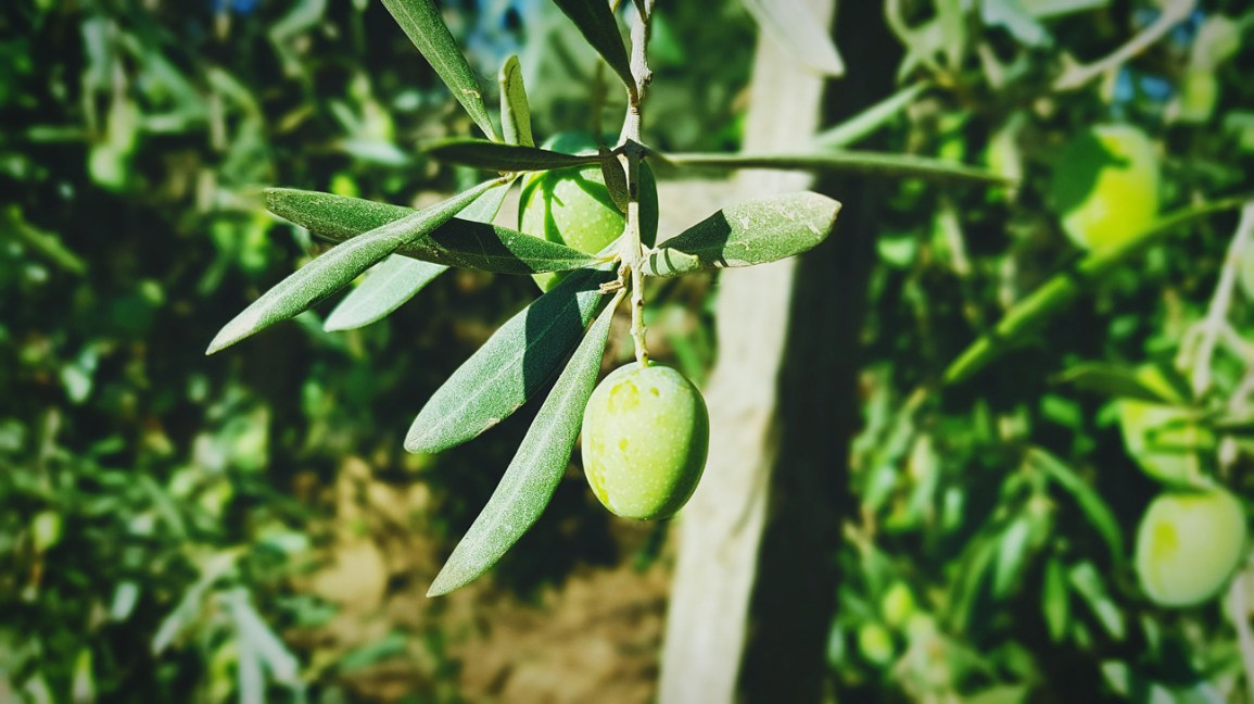 mango tree with young fruit and leaves