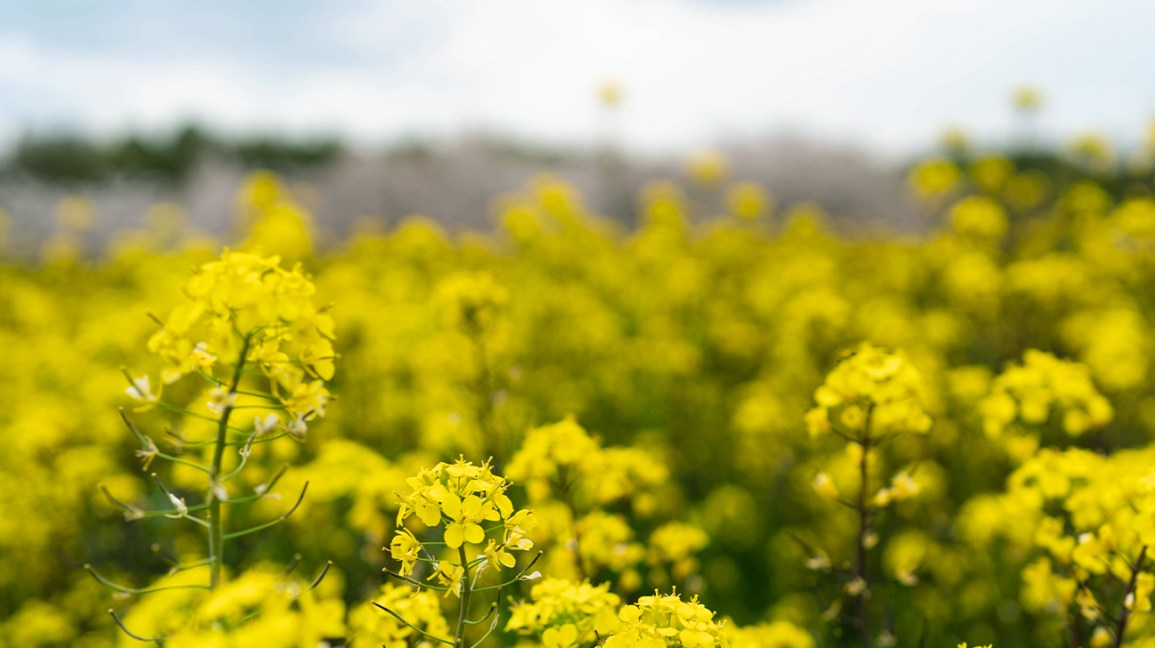 A field of mustard plants