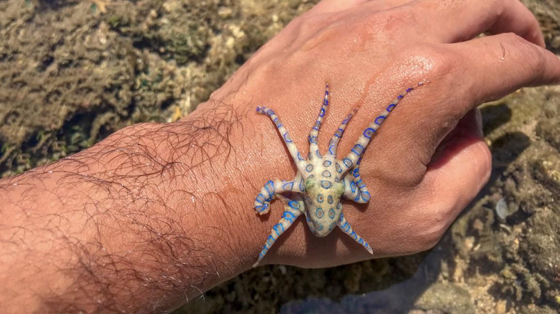 mordida de polvo com anéis azuis, polvo com anéis azuis na mão de um homem