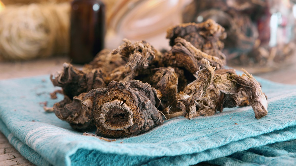 dried osha root on a napkin