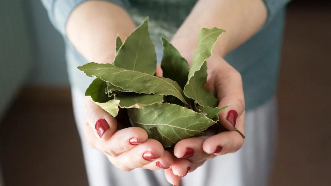 primo piano di due mani che tengono un mucchio di foglie di alloro