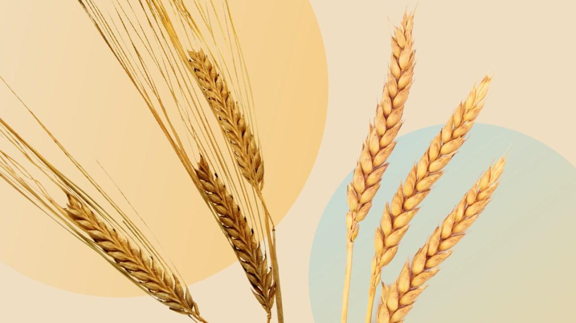 Cevada vs. ilustração de trigo