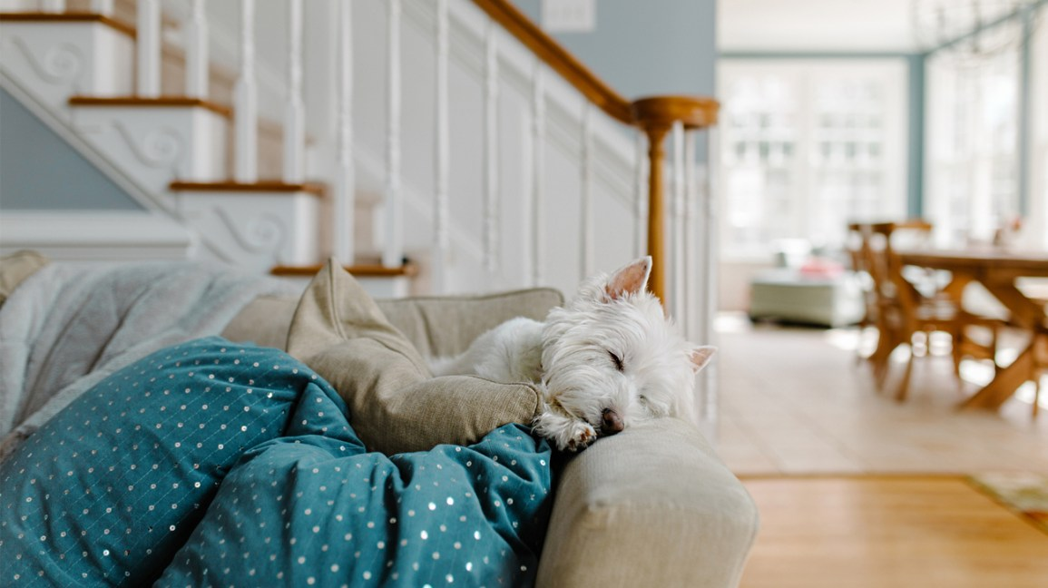 fluffy white dog resting on couch