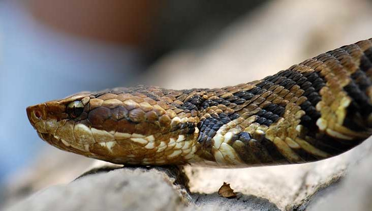 Ball Python Bite Treatment And When To See A Doctor