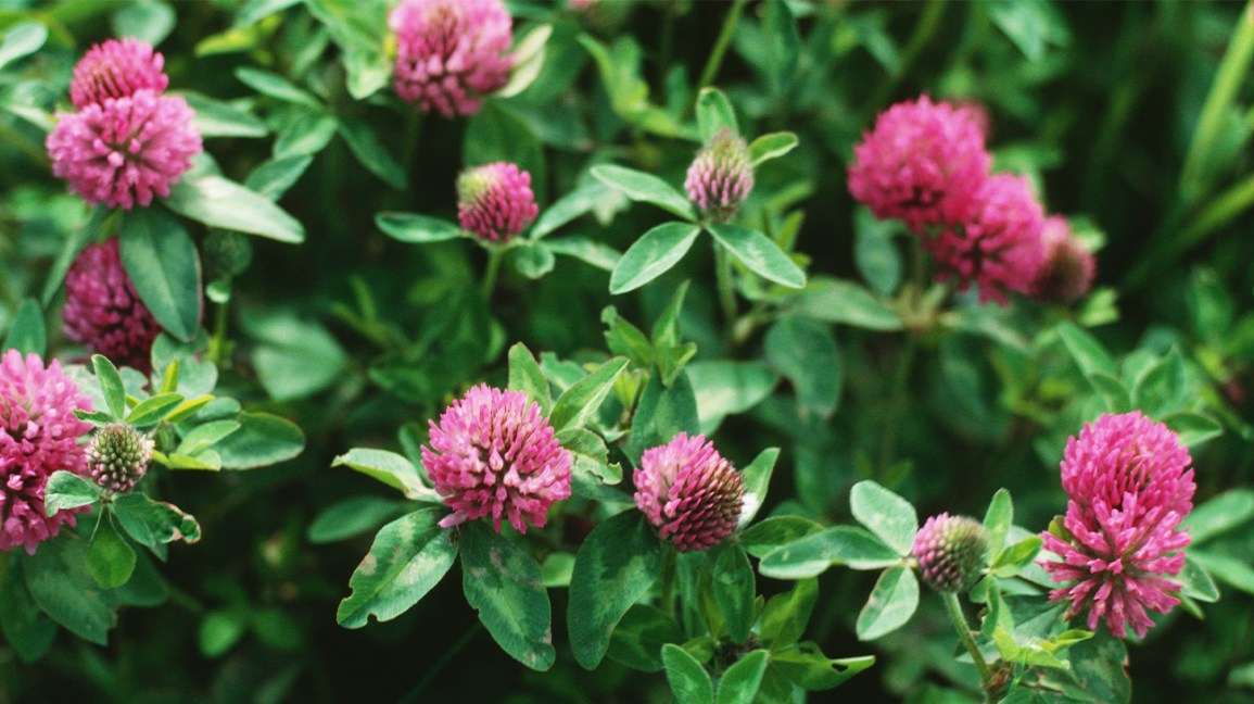 red clover growing wild