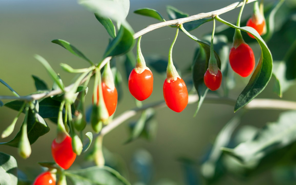 fresh goji berries growing on a bush