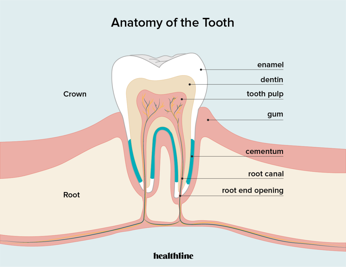 An illustration of the anatomy of a tooth, showing the enamel, dentin, tooth pulp, and cementum layers.