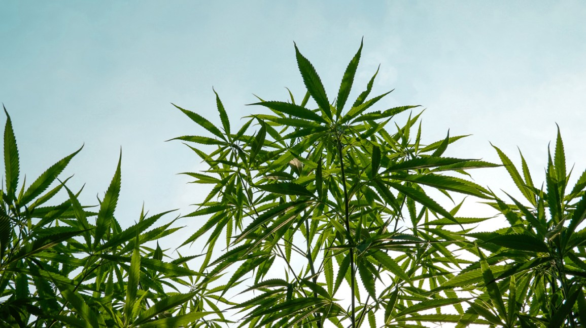 campo de plantas de cannabis e um céu azul brilhante