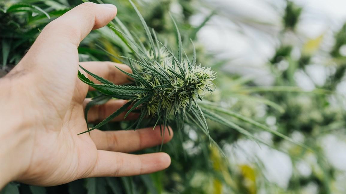 mão segurando planta cannabis sativa