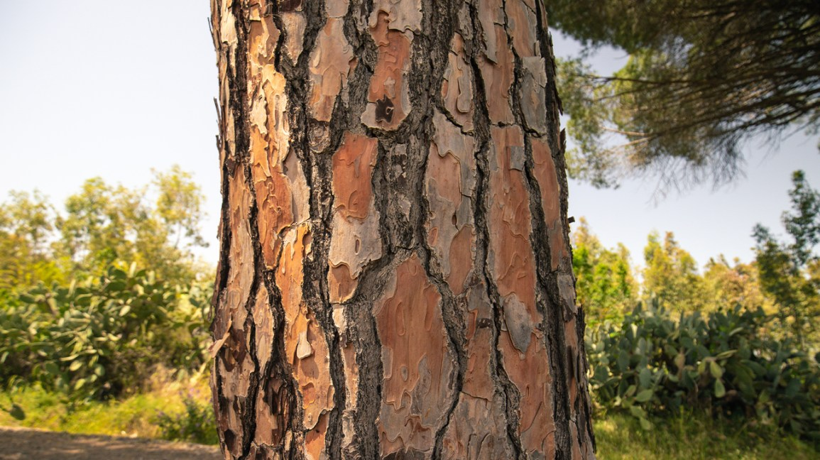 close-up of pine tree trunk showing bark