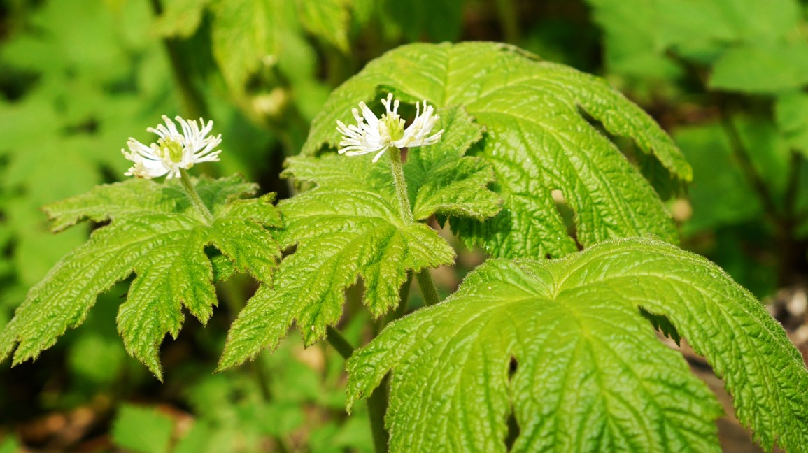 Goldenseal leaves with white flowers