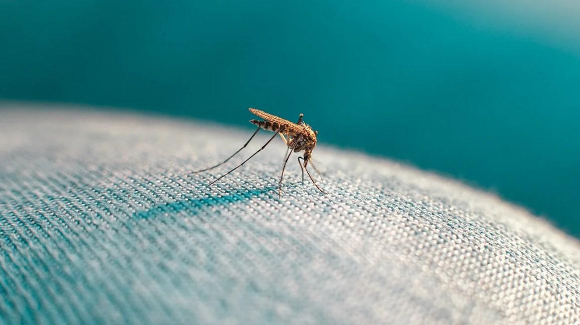 Kot üzerinde sivrisinek closeup