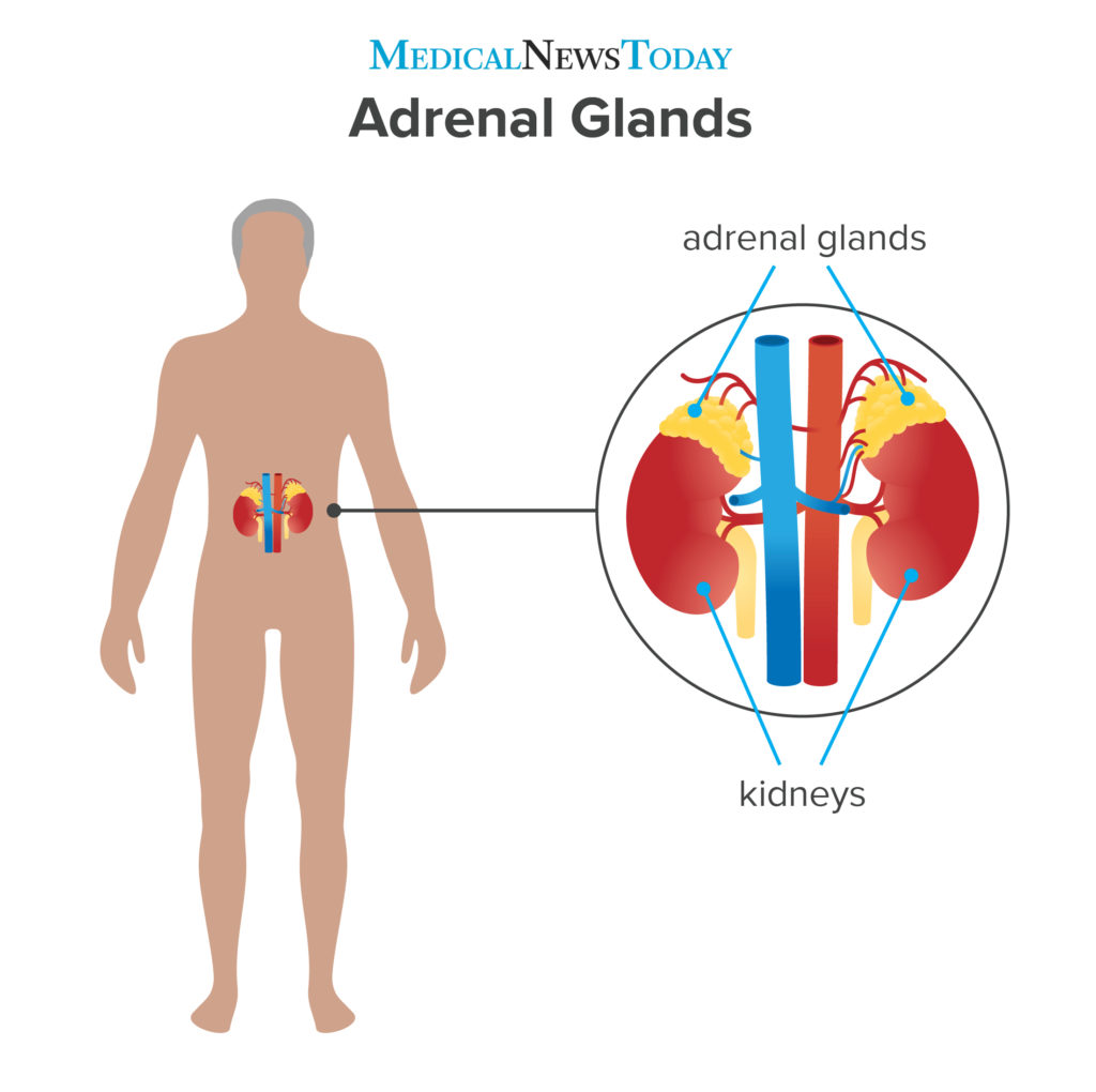 an infographic showing the Adrenal glands