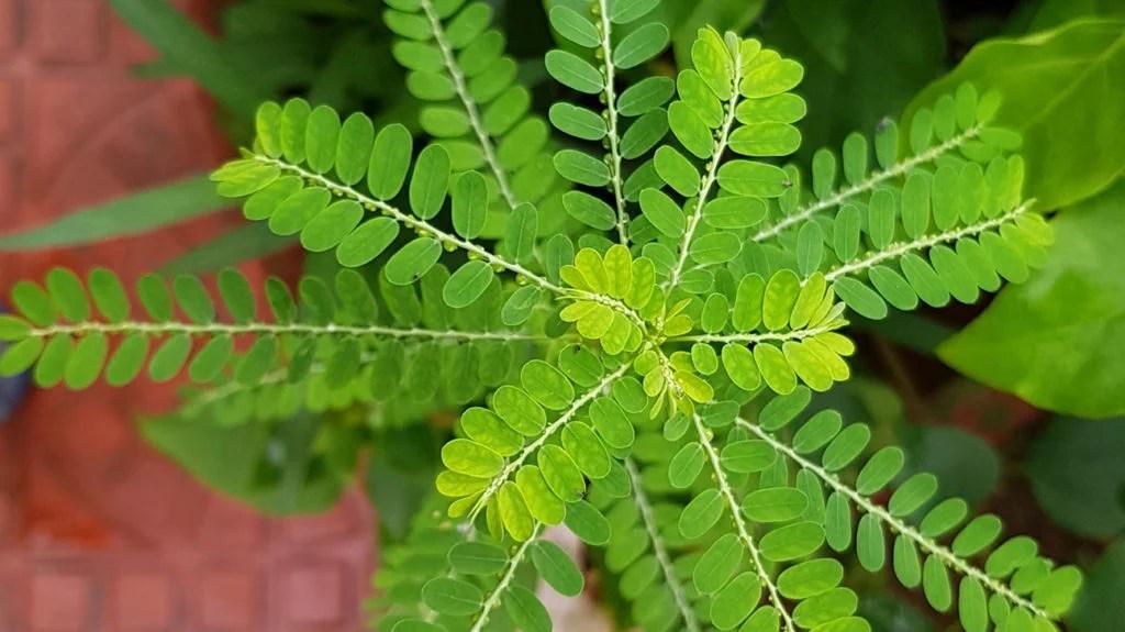Phyllanthus niruri: Benefits, uses, and risks