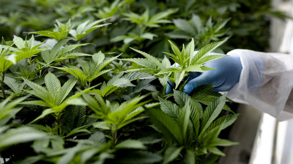 a person wearing gloves touching cannabis plants that are high in terpenes