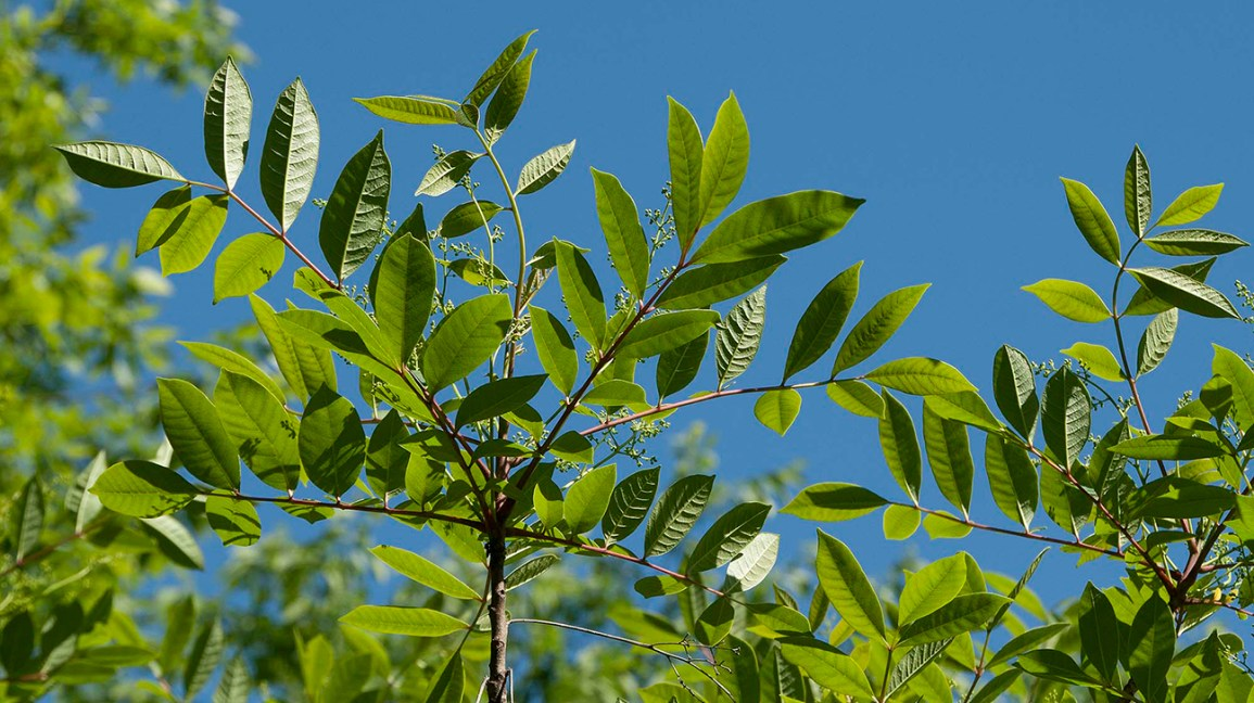 Poison Sumac What It Is Treatment And More