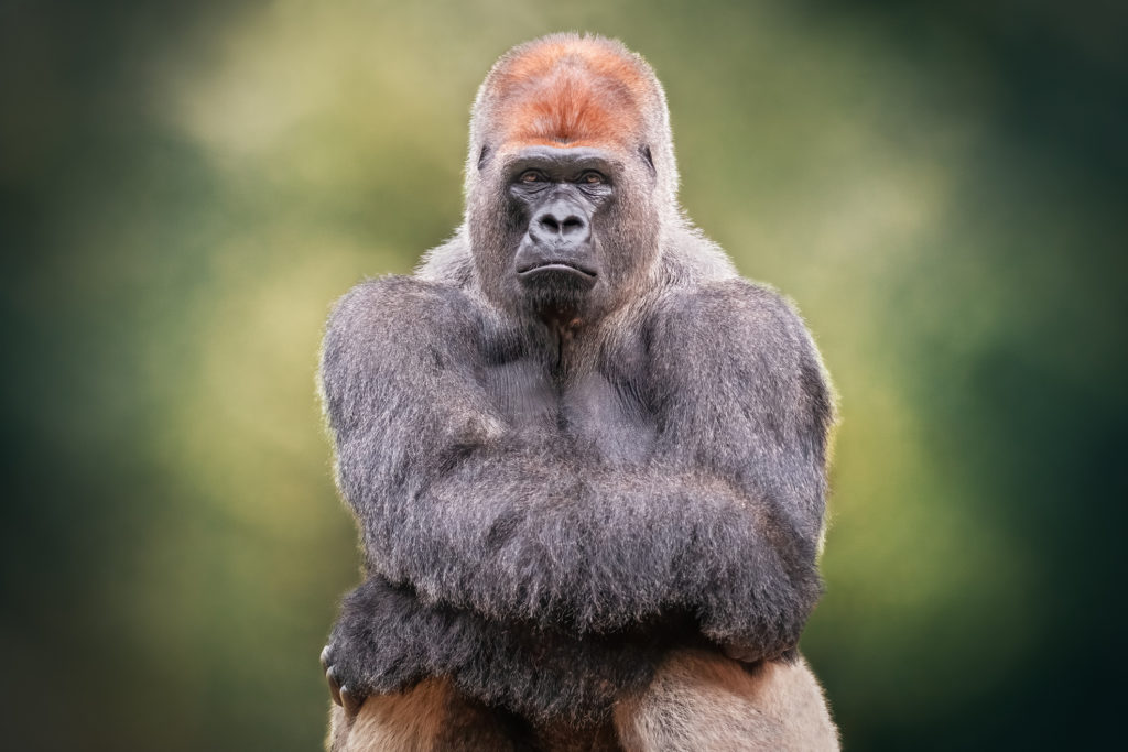https://i0.wp.com/post.medicalnewstoday.com/wp-content/uploads/sites/3/2020/03/Silverback-gorilla-1024x683.jpg?w=1155&h=2969